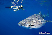 woman introduces child to a friendly whale shark, Rhincodon typus, Kona Coast, Hawaii Island ( the Big Island ), Hawaiian Islands, USA ( Central Pacific Ocean ) MR 360, 361