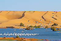 Maroc. Grand Sud. Laayoune. Desert et lagune dans les environs de la ville. oiseaux migrateurs. Cigognes. Ancien Sahara espagnol. // Morocco. South Morocco. Laayoune. Desert an laguna around the city. Migratory bird. Stork. Former Spanish Sahara.