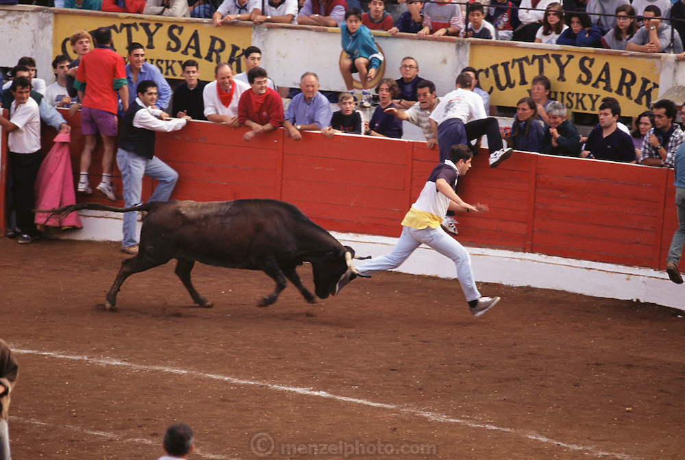 A traditional encierro, or taunting of the bulls by local residents at the annual wine harvest festival in Logroño, Spain. This takes place in the municipal bullring after the bulls run through the streets early every morning.