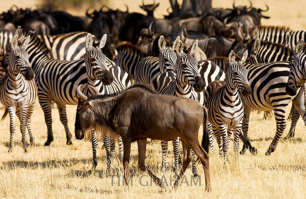 Blue Wildebeest and Common Plains Zebra (Grant's), Grumeti, Tanzania