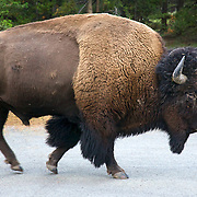 The American bison, also commonly known as the American buffalo, is a North American species of bison that once roamed the grasslands of North America in massive herds. Because of commercial hunting and slaughter in the 19th century, the bison nearly went extinct and is today restricted to a few national parks and other reserves.