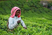Inde, Etat du Kerala, Munnar, plantation de the, coeulleuse tamoul // India, Kerala state, Munnar, tea plantations, Tamil worker