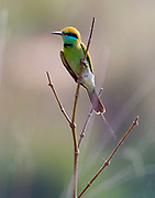 Little green bee-eater (Merops orientalis) from Kanha National Park, India.