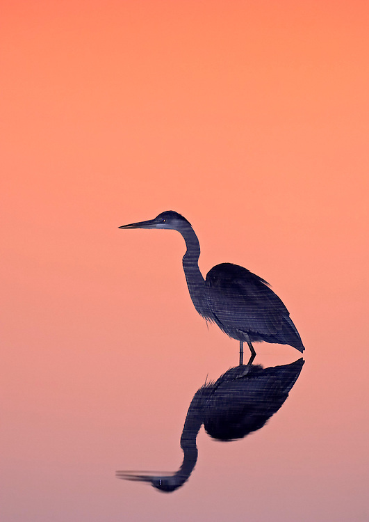 Flash freezes the reflection of rippled water on a great blue heron during a long exposure at twilight, Blackwater National Wildlife Refuge, Maryland, USA.