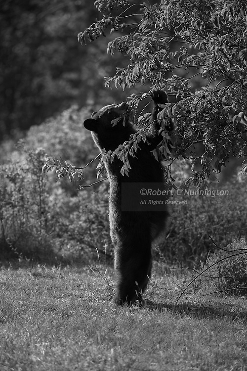 Bears need to gorge on high energy foods before the brutal winter arrives in northern Montana. In the Many Glacier region of Glacier National Park, Montana, USA