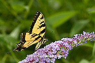 03023-02619 Eastern Tiger Swallowtail butterfly (Papilio glaucus) on Butterfly Bush (Buddleia davidii) Marion Co., IL