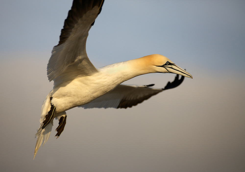 Gannets Sula bassana Saltee Islands Ireland