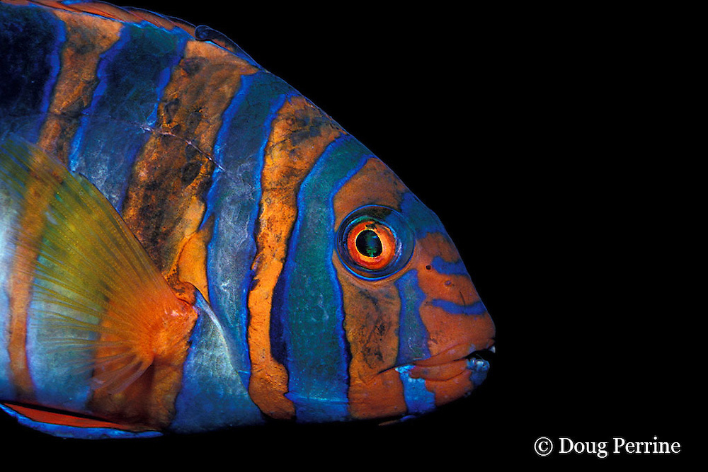 harlequin tuskfish, Choerodon fasciatus (c), Australia (dm)