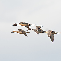 courtship flight, northern pintail ducks open sky