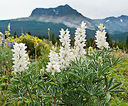 Albino lupine (or lupin) flowers bloom on Apikuni Falls Trail in Glacier National Park, Montana, USA. Lupinus is a genus in the pea family (also called the legume, bean, or pulse family, Latin name Fabaceae or Leguminosae).