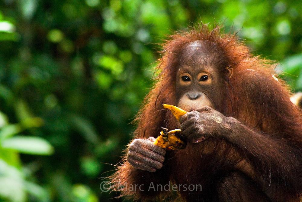 Orangutan (Pongo Pygmaeus) Sepilok Orangutan Rehabilitation Center, Sabah, Malaysia.
