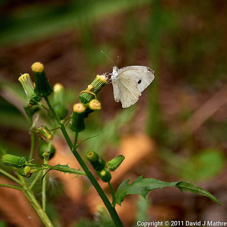 White Moth. Summer in New Jersey. Image taken with a Nikon D700 and 28-300 mm VR lens (ISO 200, 300 mm, f/5.6, 1/200 sec).