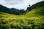 A tea plantation in the upper hills of  Ella, Sri Lanka, Asia
