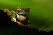 Red-eyed Tree Frog at night, Costa Rica