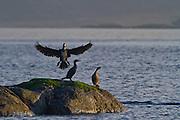 Skarv inn for landing på skjær | Cormorant landing on a rock.