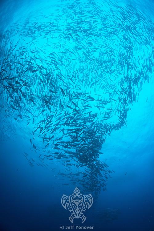 Schooling Bigeye Jacks<br /> <br /> <br /> Shot at Cocos Island, Costa Rica