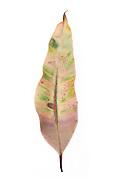 Bloodwood, Corymbia Gummifera