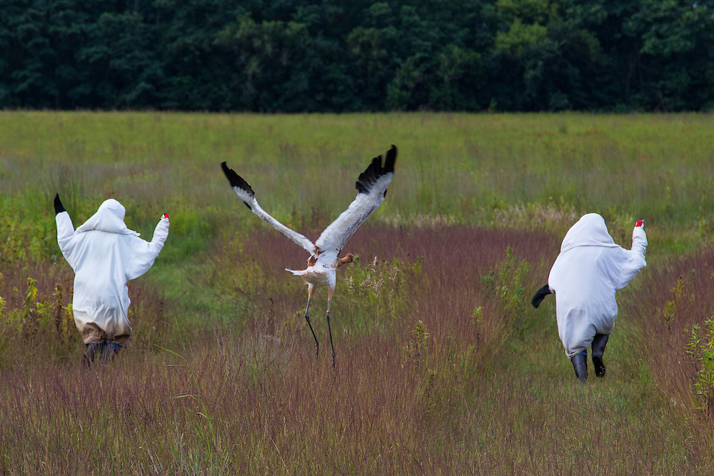 As a young Whooping Crane takes flight and fledges for the first time as it follows two costumed aviculturists who are running and flapping their arms to simulate take off.