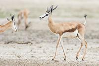 Springbok ram strutting territorially through a herd of female springbok, Kgalagadi Transfrontier Park, Northern Cape, South Africa