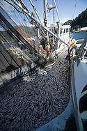 The crew of the F/V Infinite Glory pumps tons of herring from its seine onto a tender during the 2007 Sitka Herring Sac Roe fishery.
