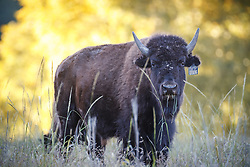 Bison portrait, Vermejo Park Ranch, New Mexico, USA.