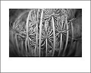 Wild fennel. Personal fine art photography by Piotr Gesicki