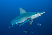 A Sandbar Shark, Carcharhinus plumbeus, swims offshore Jupiter, Florida, United States. IUCN Red List