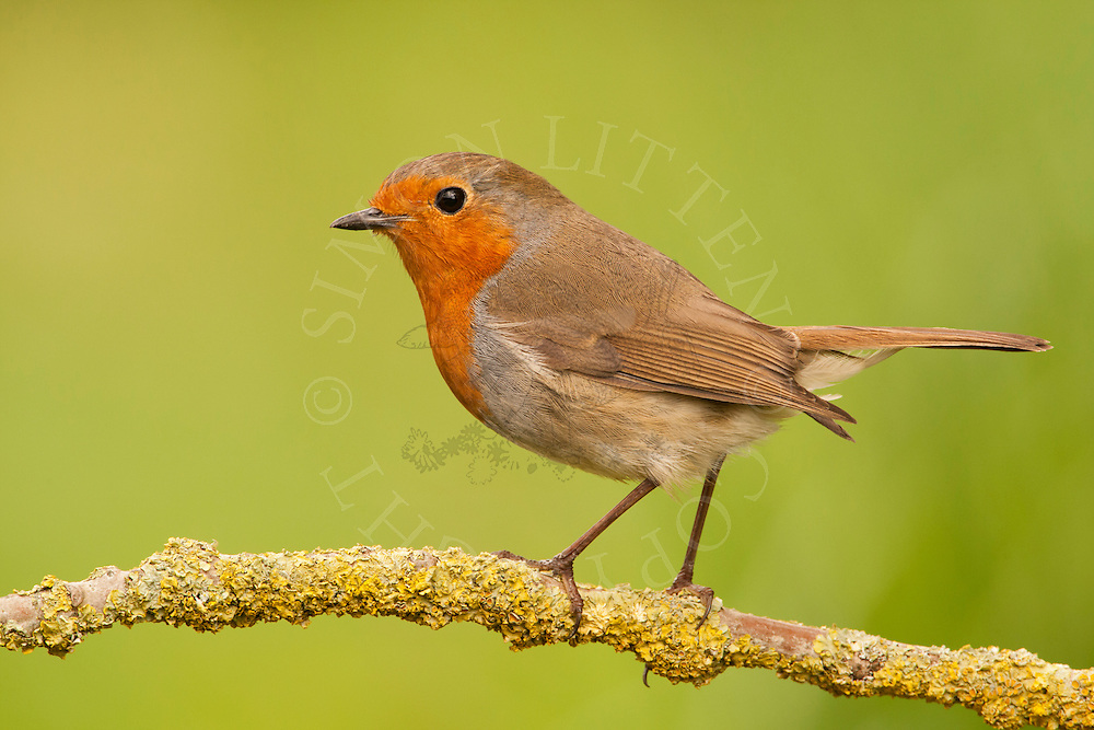 European Robin (Erithacus rubecula) adult, perched on branch, spring, Norfolk, UK.
