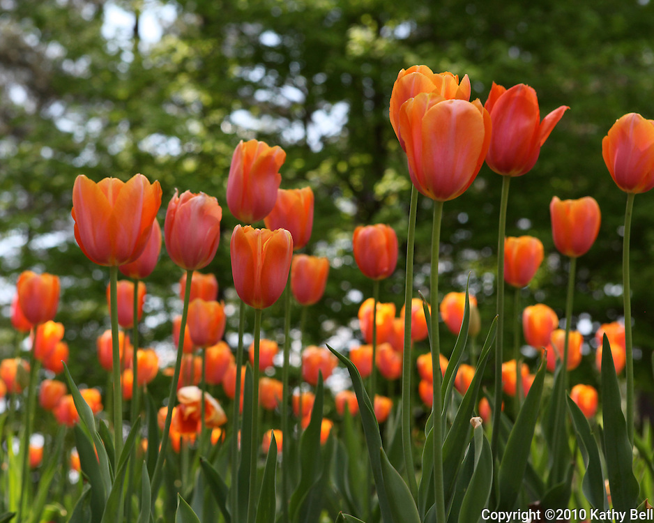 Image of a field of tulips