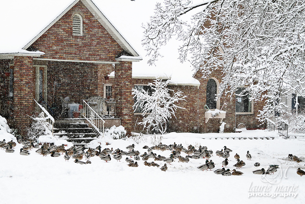A flock of ducks resting in the front yard of a house