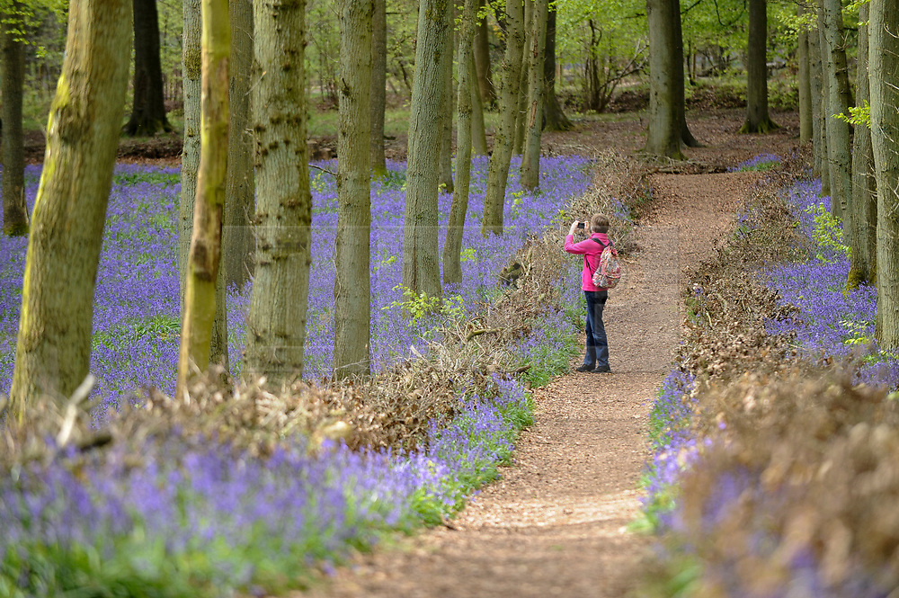 © Licensed to London News Pictures. 25/04/2018. ASHRIDGE, UK.  A visitor takes a photo from a pathway amongst the bluebells in bloom in Dockey Wood, Hertfordshire.   As the popular location experiences high numbers of visitors, the National Trust has imposed an entrance fee in recent years and, this year, has built barricades of twigs and branches to clearly demarcate pathways in order to protect the delicate flowers from being trampled.    Photo credit: Stephen Chung/LNP