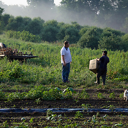 Doug Woolf and his crew start picking strawberries just after sunrise to ensure that customers get strawberries that are as fresh as possible.