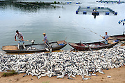 TANCHENG, CHINA - AUGUST 01: (CHINA OUT) Farmers collect dead fish at a fish farm on August 1, 2014 in Tancheng County, Shandong Province of China. Farmers suspect that sewage from an upstream alcohol plant killed the fish. And local police and environmental protection bureau have already started to investgate. (Photo by ChinaFotoPress)***_***