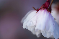 Cherry blossom with a drop of dew in the early morning light during Spring in Utah.