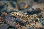 Corrugated Darter<br />