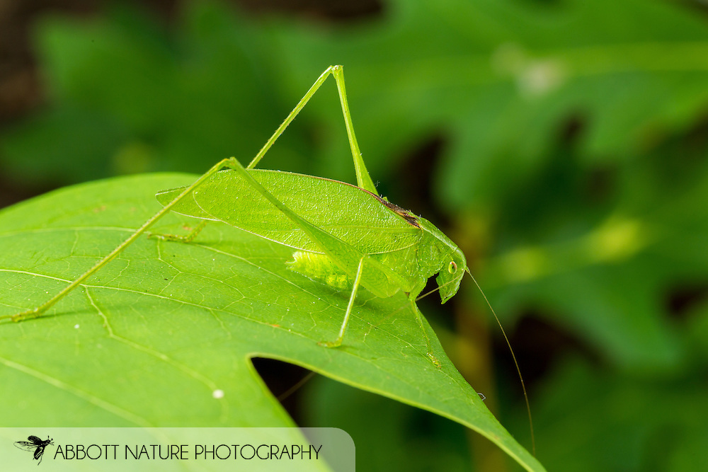 Oblong-winged Katydid (Amblycorypha oblongifolia)<br /> United States: Alabama: Tuscaloosa Co.<br /> Tulip Tree Springs off Echola Rd.; Elrod<br /> 23-Jun-2016<br /> J.C. Abbott #2836 &amp; K.K. Abbott