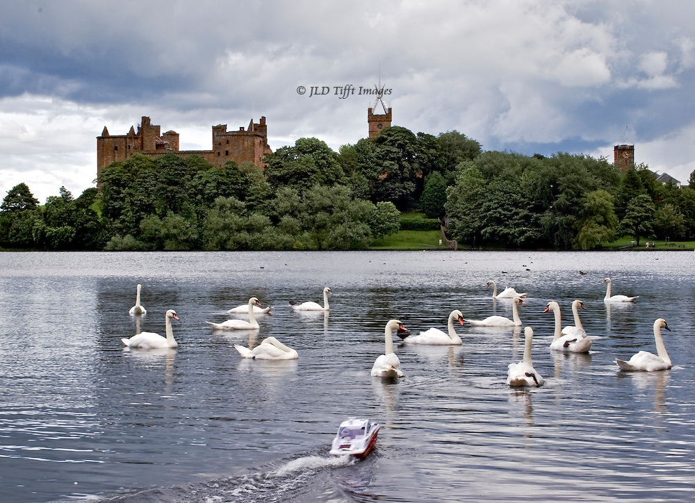 View of Linlithgow Palace from the loch with swans swimming (about 16 swans)and a toy motorboat charging toward them.