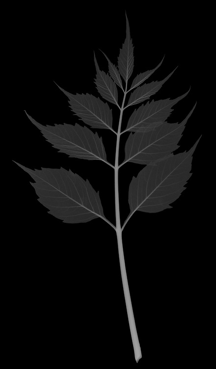 X-ray image of a trumpet vine leaf (Campsis radicans, white on black) by Jim Wehtje, specialist in x-ray art and design images.