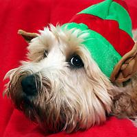 Soft Coated Wheaten Terrier in her Christmas Elf costume