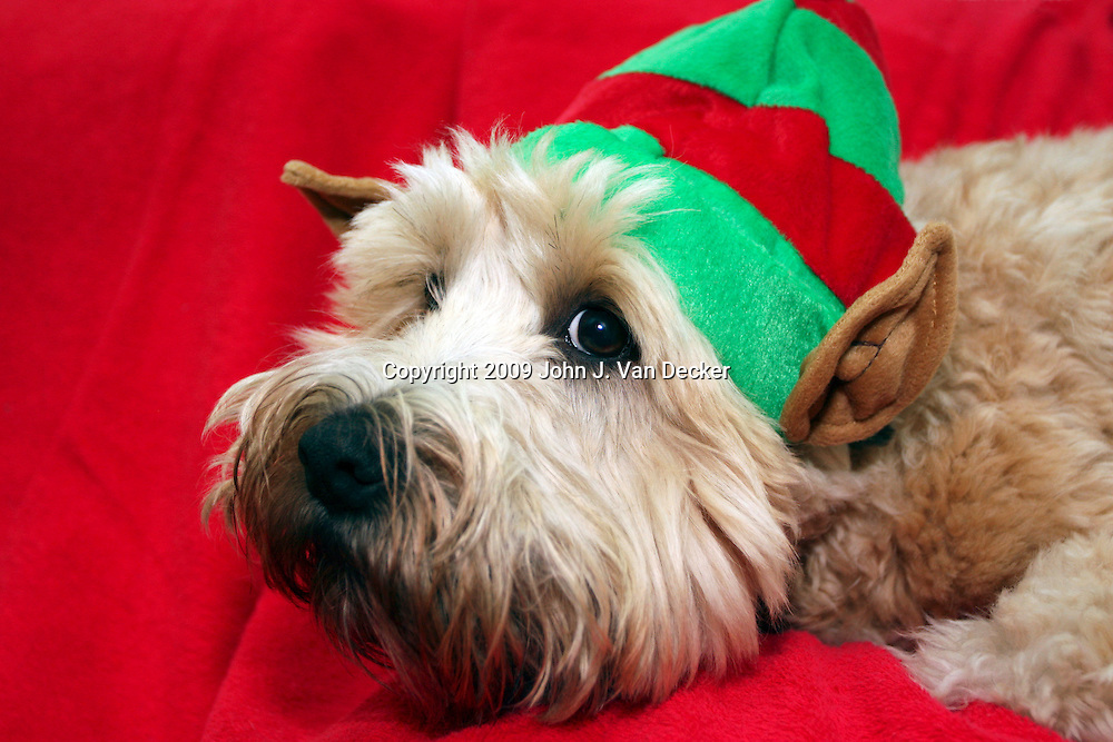 Soft Coated Wheaten Terrier in her Christmas Elf costume