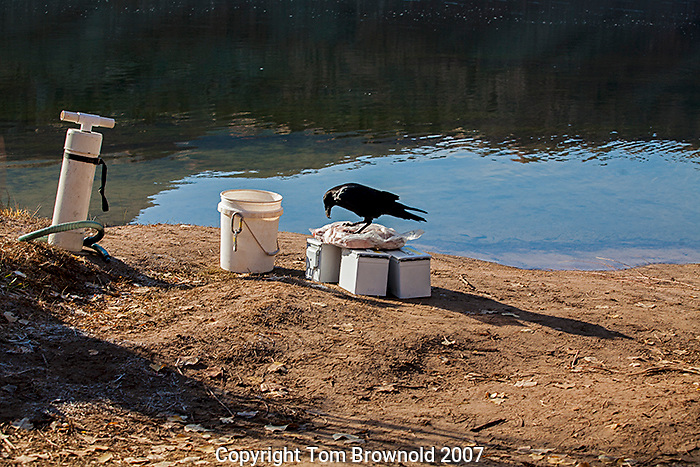 Lunch meat that has been left out to thaw in the morning sun has been discovered by a Raven who has started ripping into it for himself. A persistent issue on a river trip is keeping the food protected from the preditors like ravens, ring tailed cats, mice, etc.