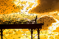 © London News Pictures. 24/02/2016. Aberystwyth, UK. <br /> A man  standing on the deck of the pier gets an extreme close up view as a flock of thousands of tiny starlings fly in huge murmurations over  the seaside pier as the sun sets dramatically behind them over Cardigan Bay in Aberystwyth on the west wales coast.. Photo credit: Keith Morris/LNP