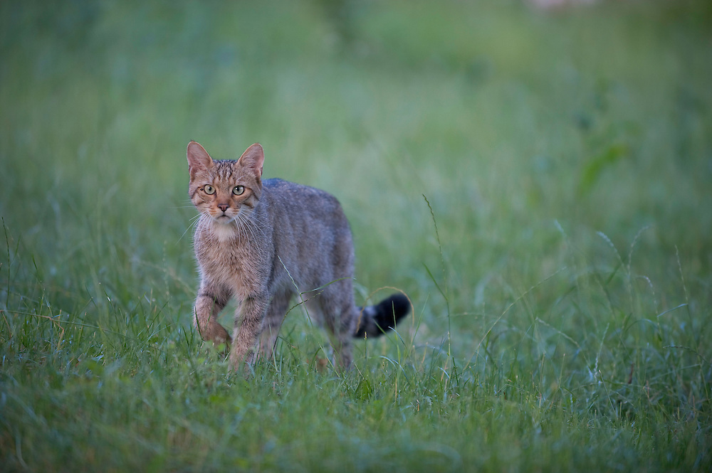Wild cat (Felis silvestris) in long grass, Codrii Forest Reserve, Moldova, June 2009