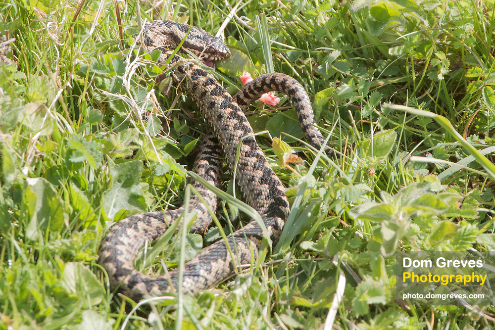 Male adder (Vipera berus) after being attacked by magpies. Surrey, UK.