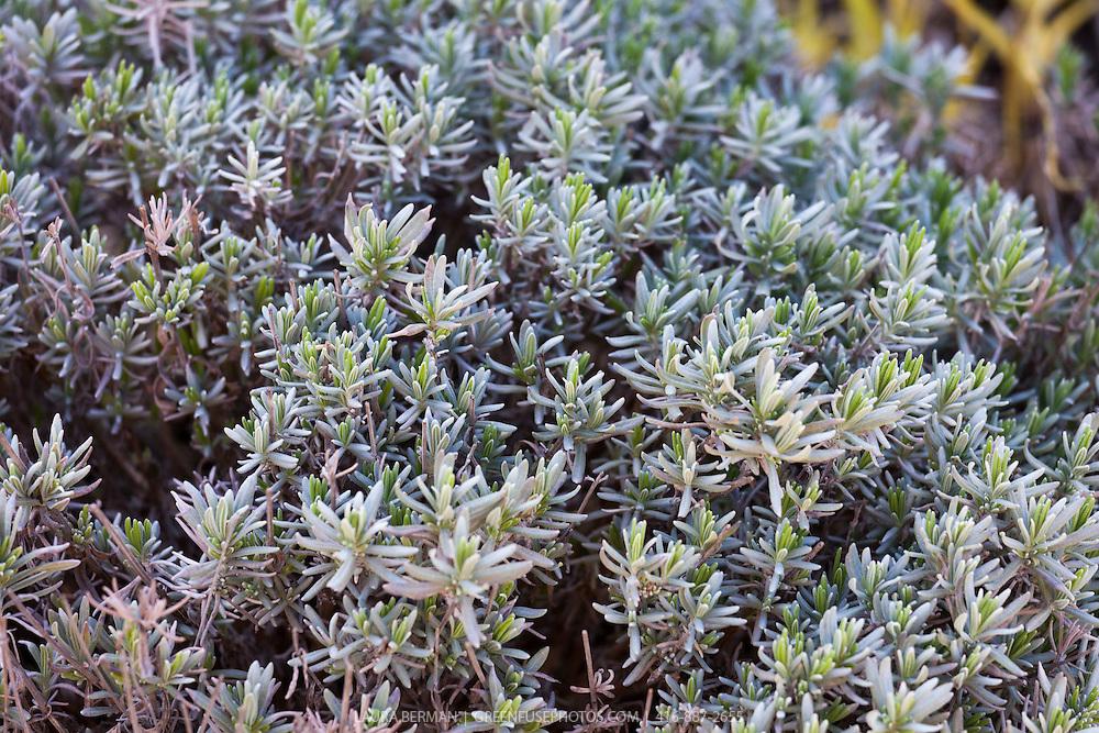 Munstead English lavender (Lavandula angustifolia 'Munstead')