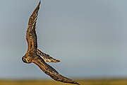 Photographic Image of a Northern Harrier (Circus cyanus) flying directly at the photographer