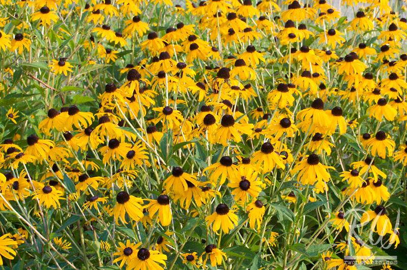 Yellow Prairie Coneflowers, Falls of the Ohio State Park, Clarksville, Indiana