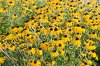 Yellow Prairie Coneflowers, Falls of the Ohio State Park, Clarksville, Indiana