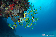 porkfish, Anisotremus virginicus, school under a ledge, Playa del Carmen, Cancun, Quintana Roo, Yucatan Peninsula, Mexico ( Caribbean Sea )