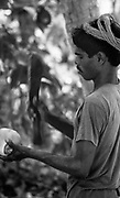 Maldives.<br />Cutting into a fresh coconut. 1990